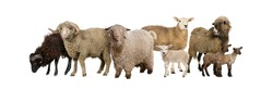 Group of many goats and sheep in a row, isolated