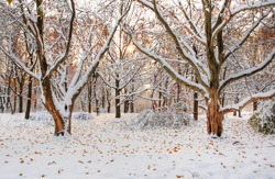 Group of maples under snow