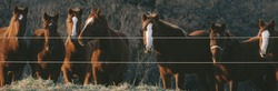 Group of mare horses at fence in Texas pasture during winter.  Western horse concept as a herd for banner.