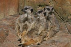 Group of meerkats relaxing together.