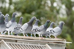 group of messenger pigeons outside of their  dovecote , you can see the message rings to carry the messages