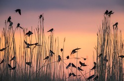 Group of migratory Barn Swallows preparing for communal roosting in reed bed against the sunset colored sky