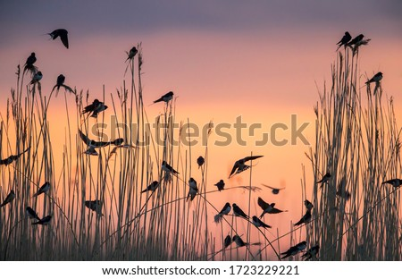 Group of migratory Barn Swallows preparing for communal roosting in reed bed against the sunset colored sky Foto stock ©