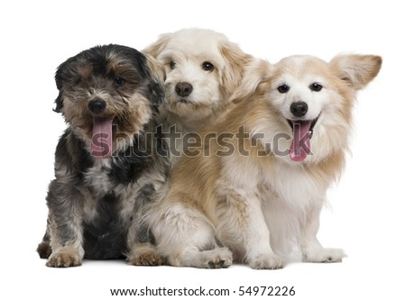 Group of mixed-breeds, in front of white background