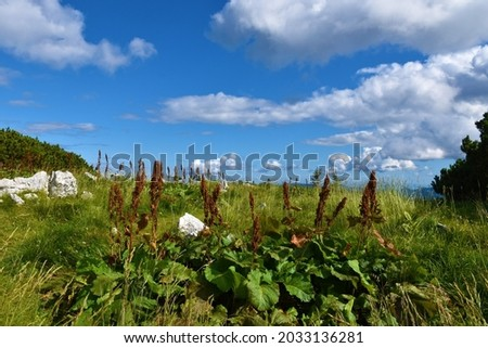 Group of monk's-rhubarb or alpine dock (Rumex alpinus) plants Stock fotó ©