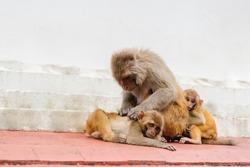 Group of monkey at the Swayambhunath temple or monkey temple in Kathmandu, Nepal. Mother monkey with her babys. Stock photo.
