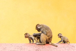 Group of monkeys sitting on the roof infron of yellow wall. Mother monkey with her babys. Stock photo.