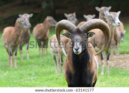group of mouflons on autumn background