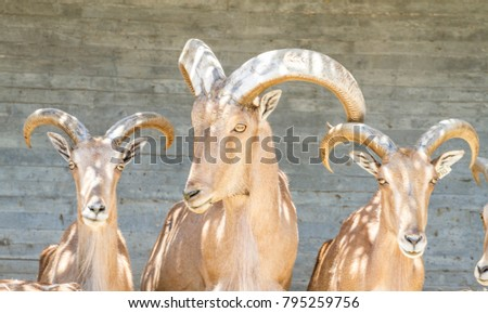group of mountain goats, Family mammals with large horns #795259756
