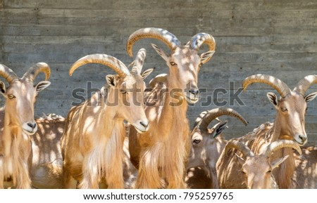 group of mountain goats, Family mammals with large horns #795259765