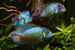 group of nannacara, adult active and healthy freshwater cichlid fish, artificial breed, dominant male and females in natural planted aquarium, colorful aquadesign