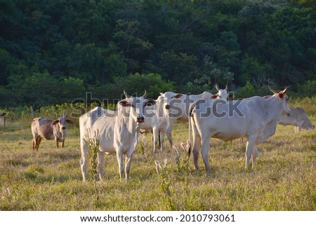 Group of Nellore (Bos taurus indicus) cattle grazing in the field at sunset. Beef cattle in a farm in countryside of São Paulo State, Brazil. A group of Zebu cattle being herd through a field.