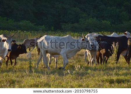 Group of Nellore cattle (Bos taurus) grazing in the field at sunset. Beef cattle in a farm in countryside of São Paulo State, Brazil.  Beautiful herd of cows on pasture at sunset in a farm. Stockfoto ©