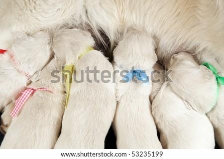 group of newborn Golden Retriever puppy sucking milk from bitch - stock photo
