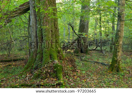 Group of old trees in natural forest in autumnal morning with moss wrapped linden tree in foreground