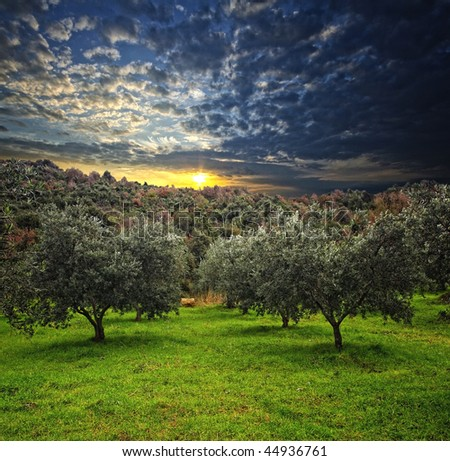 group of olive tree in green field and wood background