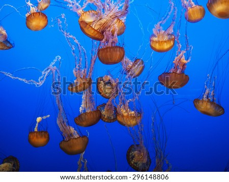 Stock Photo Group of Orange Jellyfish on Vibrant Blue Background