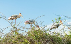 Group of Painted Stork Birds nesting on a tree