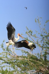 Group of Painted stork birds with nest on top of tree with clear blue sky background.