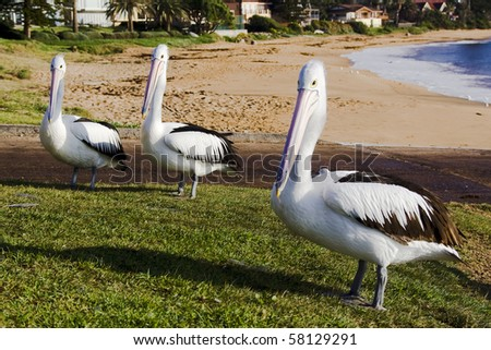 group of pelican birds stand on green grass near ocean beach in Sydney suburb sunny day
