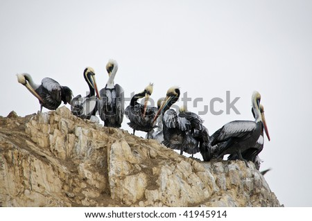 Group of Pelicans at Isla Ballestas near Paracas, Peru