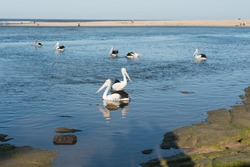 Group of pelicans in calm blue water surrounded by brown rocks near the bay where are visible to the people in the coast