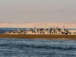 Group of Pelicans, Peruvian Pelican: Pelecanus thagus - large gregarious waterbird.  Ballestas Islands in the Paracas National park, Peru. Latin America