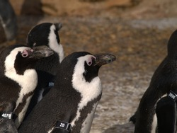 Group of Penguins standing on non-snow surface