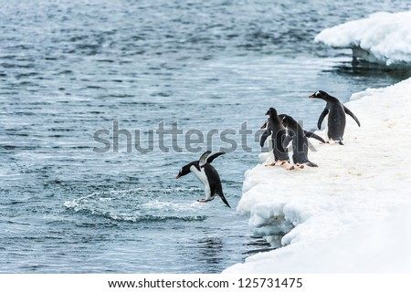 Group of penguins watch their friend jum into the water in Antarctica