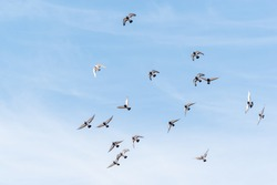 Group of pidgeons flying in the sky