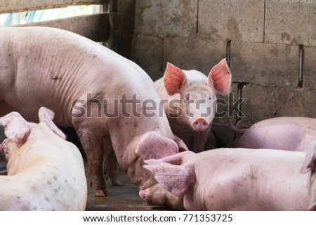 Group of pig sleeping eating in the countryside farm. livestock concept. #771353725