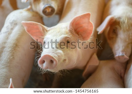 Group of pig that looks healthy in local ASEAN pig farm at livestock. The concept of standardized and clean farming without local diseases or conditions that affect pig growth or fecundity #1454756165