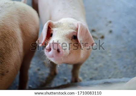 Group of pig that looks healthy in local ASEAN pig farm at livestock. The concept of standardized and clean farming without local diseases or conditions that affect pig growth or fecundity