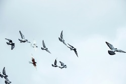 group of pigeons flying in blue sky