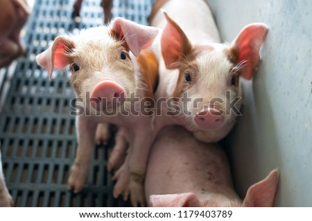 Group of piglets in pig farm. Photo stock ©