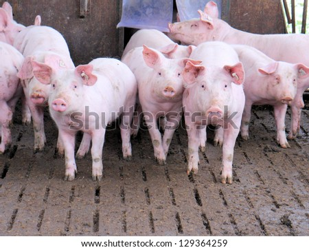 Group of pigs in a stable - stock photo