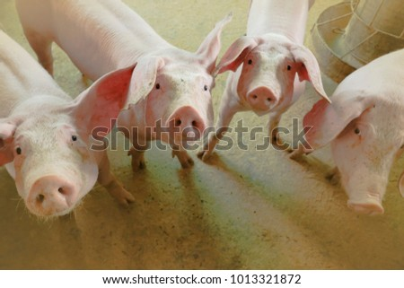 Group of pigs in farm yard. #1013321872