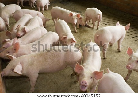 group of pigs in farm yard