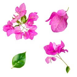 Group of pink bougainvillea flowers in spring bloom isolated on a white background, realistic nature elements for beauty and cosmetic products, wedding invitation design element.