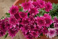 Group of pink Gerbera flowers for sale in street market.