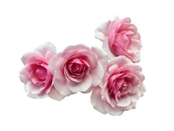 Group of pink roses with dew drops isolated on a white background