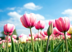 Group of pink tulips in the park agains clouds. Spring blurred background postcard