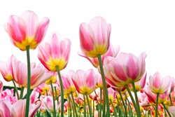 Group of pink tulips on a white background. Panorama. Spring landscape