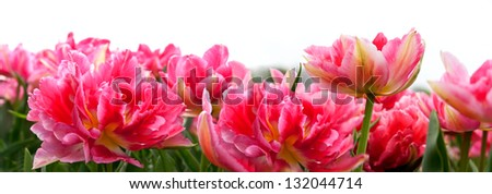 Group of pink tulips on a white background. Panorama. Spring landscape.