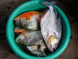 Group of Piranhas from the amazon river in Brazil after fishing. Carnivore red belly (Piris o Paulus Vazqus Cruzus)