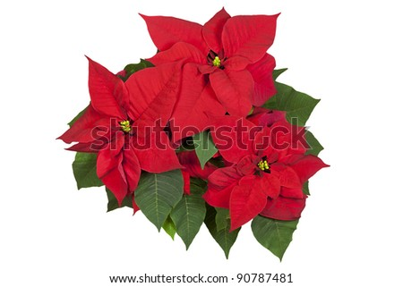 Group of poinsettia flowers isolated on white. Clipping path.