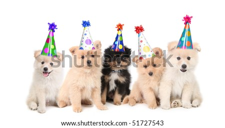 Group of Pomeranian Puppies Celebrating a Birthday on White Background