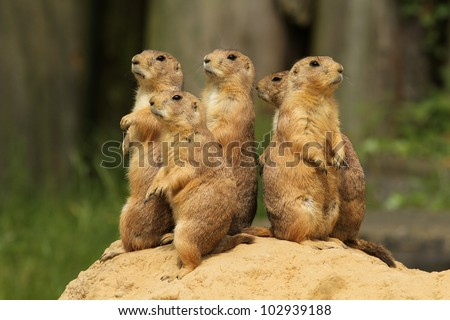 Group of prairie dogs standing upright