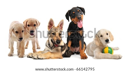 group of purebred puppies in front of a white background