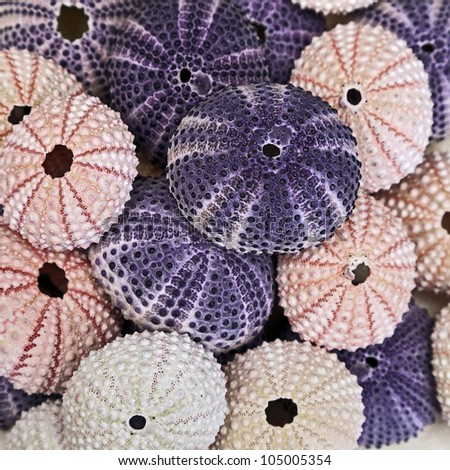 Group of Purple and Pink Sea Urchins.